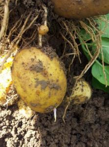 Doorwas aardappelen