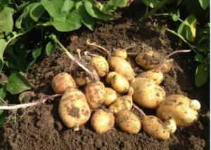 Doorwas in aardappelen