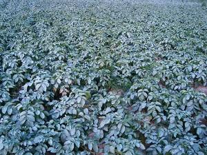 Aardappelen behandeld tegen droogte